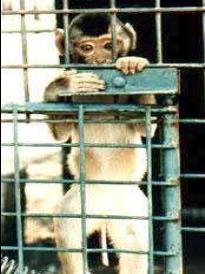 Macaco atrás de grades